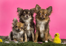 Group of Chihuahuas sitting in an easter scenery, Stock Photo