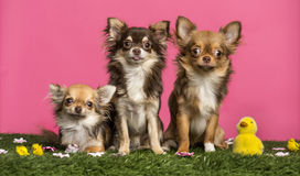 Group of Chihuahuas sitting in an easter scenery, Royalty Free Stock Photography