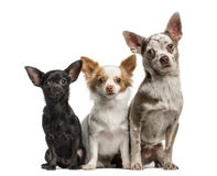 Group of Chihuahuas sitting together, isolated Royalty Free Stock Photos