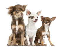 Group of Chihuahuas sitting, 2 years old, isolated Stock Photo