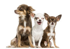 Group of Chihuahuas sitting, 2 years old, isolated Stock Photography