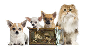 Group of Chihuahuas in a vintage box with Highland fold. Isolated on white Royalty Free Stock Photography