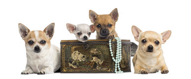 Group of Chihuahuas in a vintage box, isolated Royalty Free Stock Photography
