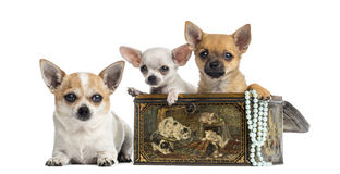 Group of Chihuahuas in a vintage box, isolated Royalty Free Stock Images
