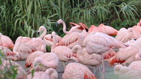 Group of chilean flamingos phoenicopterus chilensis stock footage