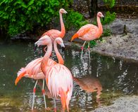 Group of chilean flamingos together, tropical birds from America. A group of chilean flamingos together, tropical birds from America royalty free stock image