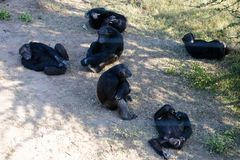 A group of Chimpanzee in the conservancy royalty free stock photos
