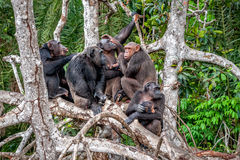 Group of Chimpanzee Pan troglodytes  on mangrove. Branches. Mother-chimpanzee sits and holds on hands of the cub. Chimpanzees chimps, Pan troglodytes Stock Photos