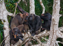 Group chimpanzee sitting on mangrove branches. Republic of the Congo. Conkouati-Douli Reserve. An excellent illustration royalty free stock photos