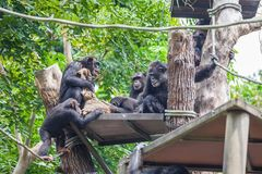 Group of Chimpanzee sitting together. One of them sits and holds on hands of the bag royalty free stock photo