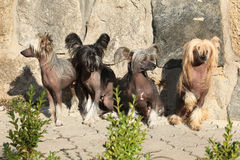 Group of Chinese Crested Dog in the garden Stock Image