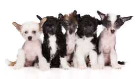 Group of chinese crested puppies on white Royalty Free Stock Photo