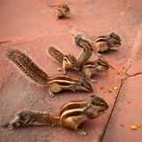 Group of chipmunks eating nuts. A group of chipmunks eating nuts in the park Royalty Free Stock Images