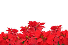 Group of Christmas red poinsettia plants Royalty Free Stock Photography