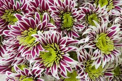 Group of chrysantemum Royalty Free Stock Images