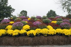 Chrysanthemum Display Stock Photo