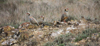 Group of Chukar Partridges Alectoris chukar Royalty Free Stock Images