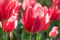Group and close up of red lily-flowered singlebeautiful tulips Stock Photo