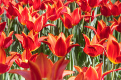 Group and close up of red orange lily-flowered single beautiful tulips growing in garden Royalty Free Stock Photos
