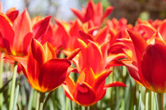 Group and close up of red orange lily-flowered single beautiful tulips growing in garden Royalty Free Stock Image