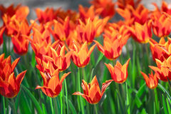 Group and close up of red orange lily-flowered single beautiful tulips Royalty Free Stock Photography
