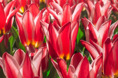 Group and close up of red white lily-flowered single beautiful tulips Stock Images