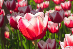 Group and close up of red white lily-flowered single beautiful tulips Royalty Free Stock Photo