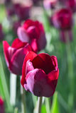 Group and close up of vinous purple single beautiful tulips growing in garden. Group and close up of vinous purple single beautiful tulips growing in the garden Royalty Free Stock Image