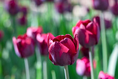 Group and close up of vinous purple single beautiful tulips. Growing in the garden Royalty Free Stock Image