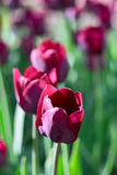 Group and close up of vinous purple single beautiful tulips. Growing in the garden Royalty Free Stock Photos
