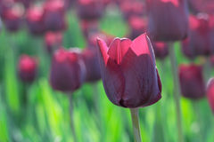 Group and close up of vinous purple single beautiful tulips. Growing in the garden Stock Photography
