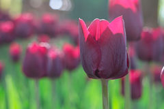Group and close up of vinous purple single beautiful tulips. Growing in the garden Stock Images