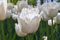 Group and close up of white fringed beautiful tulips growing in garden Royalty Free Stock Photos
