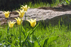 Group and close up of yellow lily-flowered single beautiful tulips growing in garden Stock Photo