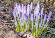 Group of closed purple Crocus flowers. Late afternoon soft light amid seed heads, leaf and yard litter Royalty Free Stock Image