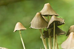 Group closeup. Fragile mushrooms after a rainy day Stock Image