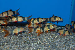 Group of Clown Loaches stock photo