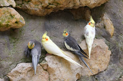 A group of cockatiels Stock Photo