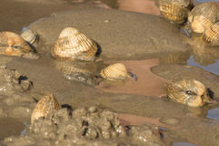 Group of cockles Stock Photos