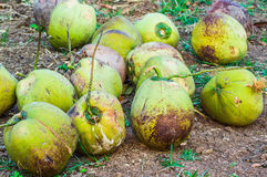 Group of Coconut Royalty Free Stock Image