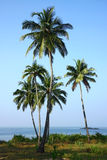 Group of coconut palm plantation Royalty Free Stock Images