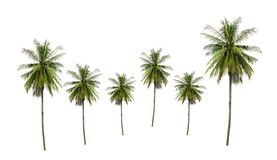 Group of coconut palm trees tropical fruit, ingredient of food isolated on white background. stock image