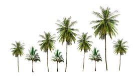 Group of coconut palm trees tropical fruit growing up in the garden isolated on white background royalty free stock image