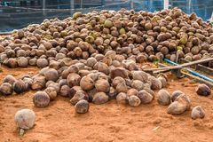 Group of Coconut Perfume is cutting head Arrange, Sort orderly p. Reparations for such varieties for planting coconut trees, in the nursery farm Royalty Free Stock Images