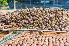 Group of Coconut Perfume is cutting head Arrange, Sort orderly p. Reparations for such varieties for planting coconut trees, in the nursery farm Royalty Free Stock Image