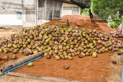 Group of Coconut Perfume is cutting head Arrange, Sort orderly p. Reparations for such varieties for planting coconut trees, in the nursery farm Stock Photos