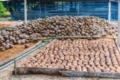 Group of Coconut Perfume is cutting head Arrange, Sort orderly p. Reparations for such varieties for planting coconut trees, Layered bottom with coconut shell`s Stock Photography