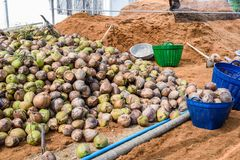Group of Coconut Perfume is cutting head Arrange, Sort orderly p. Reparations for such varieties for planting coconut trees, in the nursery farm Stock Images
