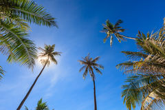 Group of coconut tree grow to the clear blue sky with sunlight shine through. Stock Images