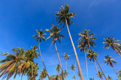 Group of coconut tree grow to the clear blue sky. Royalty Free Stock Image